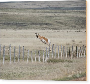 Wood Print featuring the photograph Antelope Jumping Fence 2 by Rebecca Margraf