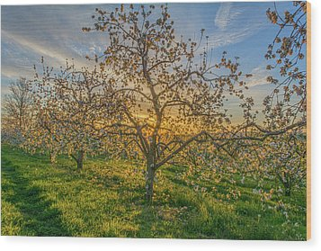 Apple Blossoms At Sunrise 2 Wood Print