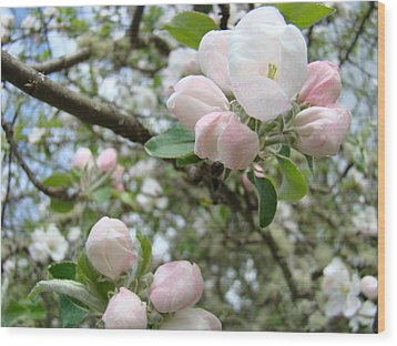 Apple Tree Blossoms Art Prints Apple Blossom Buds Baslee Troutman Wood Print by Baslee Troutman
