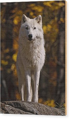 Arctic Wolf On Rocks Wood Print by Michael Cummings