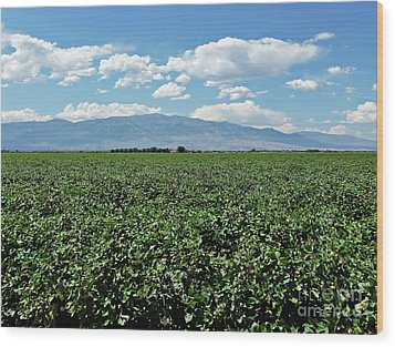 Arizona Cotton Field Wood Print by Methune Hively