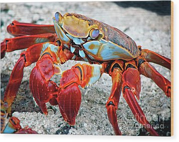 Artistic Nature Red And Blue Rainbow Crab 908 Wood Print