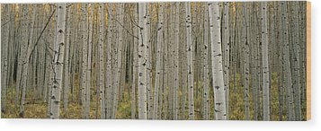 Aspen Grove In Fall, Kebler Pass Wood Print by Ron Watts