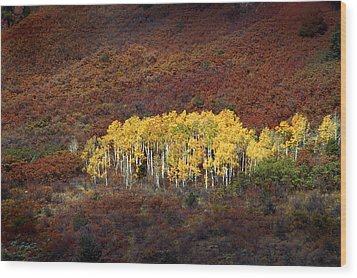 Aspen Grove Wood Print by Rich Franco