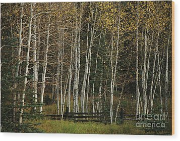 Aspens In The Fall Wood Print by Timothy Johnson