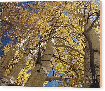 Aspen's Reaching  Wood Print by Scott McGuire
