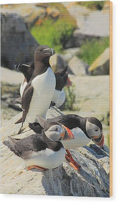 Atlantic Puffins And Razorbill Wood Print by John Burk