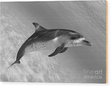Atlantic Spotted Dolphin Wood Print by Dave Fleetham - Printscapes