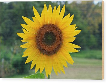 August Sunflower Wood Print