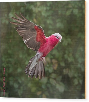 Australian Galah Parrot In Flight Wood Print