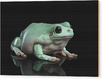 Australian Green Tree Frog, Or Litoria Caerulea Isolated Black Background Wood Print