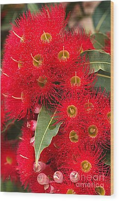 Australian Red Eucalyptus Flowers Wood Print by Joy Watson