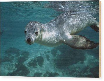 Australian Sea Lion Neophoca Cinerea Wood Print by Hiroya Minakuchi