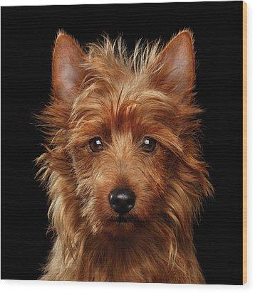 Australian Terrier Wood Print