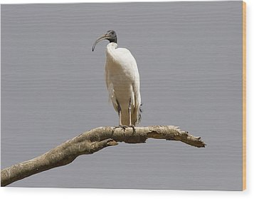Australian White Ibis Perched Wood Print by Mike  Dawson