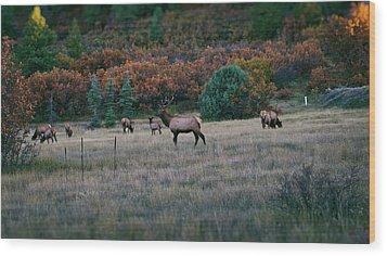 Autumn Bull Elk Wood Print