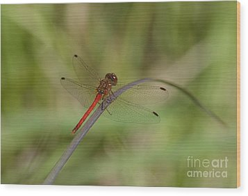 Wood Print featuring the photograph Autumn Meadowhawk by Randy Bodkins