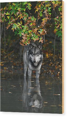 Wood Print featuring the photograph Autumn Wolf by Shari Jardina