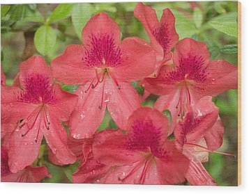 Azalea Blossoms Wood Print by Linda Geiger