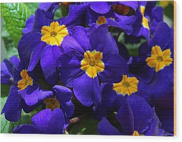 Wood Print featuring the photograph Azure Primrose by Michiale Schneider