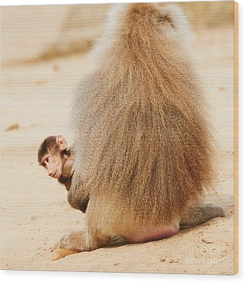 Baboon With A Baby  Wood Print