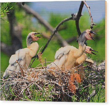 Wood Print featuring the photograph Baby Anhinga Chicks by Barbara Bowen