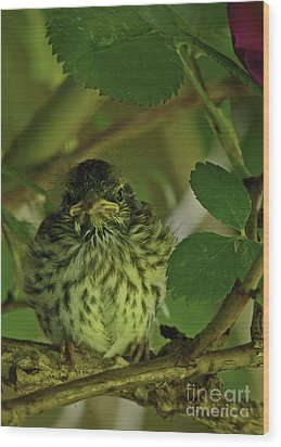 Baby Chipping Sparrow  Wood Print by Deborah Johnson