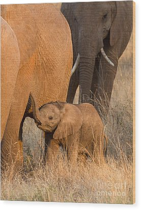Baby Elephant 2 Wood Print by Chris Scroggins