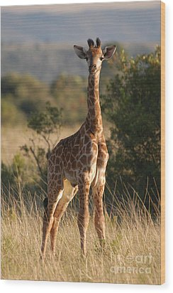 Baby Giraffe Wood Print by Andy Smy