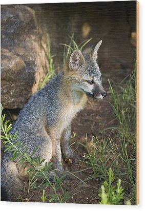 Baby Gray Fox Resting On Bluff Side Wood Print by Michael Dougherty