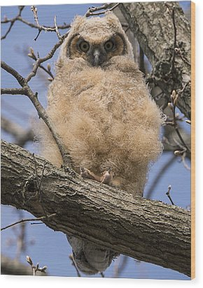 Wood Print featuring the photograph Baby Great Horned Owl by Stephen Flint