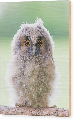 Baby Long-eared Owl Wood Print by Janne Mankinen