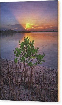 Baby Mangrove Sunset At Indian River State Park Wood Print by Justin Kelefas