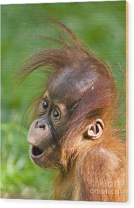 Baby Orangutan Wood Print by Andrew  Michael