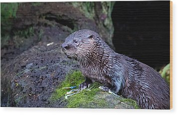 Wood Print featuring the photograph Baby Otter by Kelly Marquardt