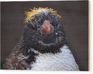 Baby Penguin Wood Print by Rob Hawkins