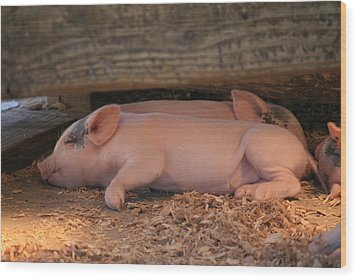 Baby Piglets Wood Print