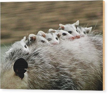 Baby Possums Wood Print