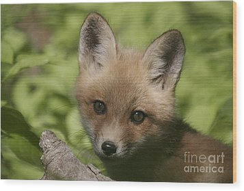 Baby Red Fox Wood Print