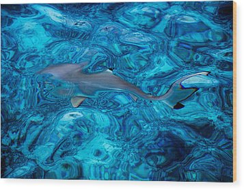 Baby Shark In The Turquoise Water. Production By Nature Wood Print by Jenny Rainbow