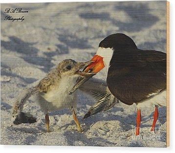Baby Skimmer Feeding Wood Print by Barbara Bowen