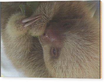 Baby Sloth Wood Print by Gregory Young