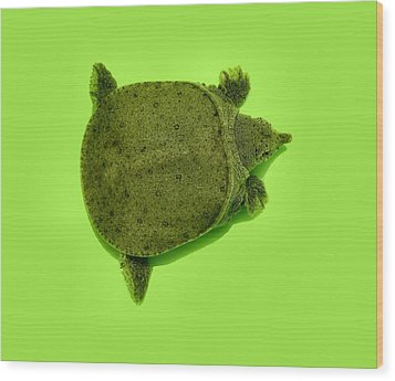 Baby Soft Shelled Turtle Wood Print by Kathy Daxon