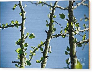 Baby Spring Tree Leaves 01 Wood Print by Ryan Kelly