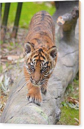 Baby Sumatran Tiger Cub Wood Print by Richard Bryce and Family