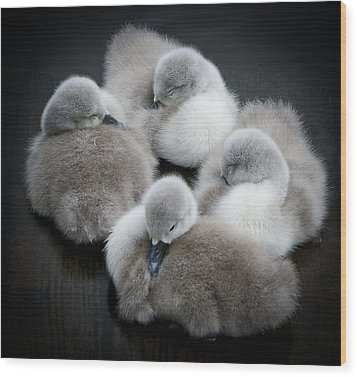 Baby Swans Wood Print by Roverguybm