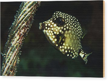 Wood Print featuring the photograph Baby Trunk Fish by Jean Noren