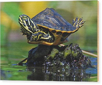 Baby Turtle Planking Wood Print by Jessie Dickson