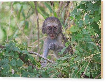 Baby Vervet Monkey Wood Print