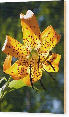 Back-lit Yellow Tiger Lily Wood Print by John Haldane